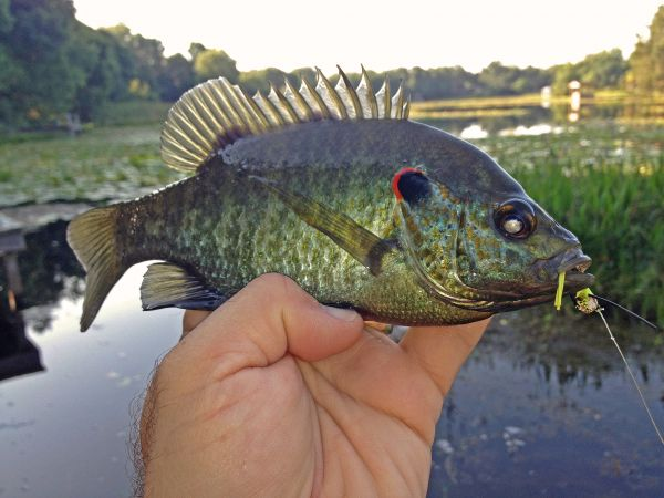 Expert fishing tips for redear sunfish for Shell cracker fish